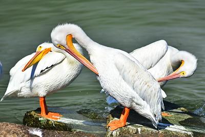 Galveston_Super-Moon_3-White_Pelicans_Preening_D75_0986