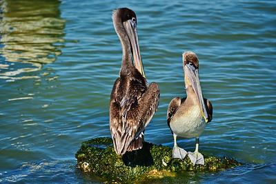 Galveston_Super-Moon_2-Brown_Pelicans_D75_0996
