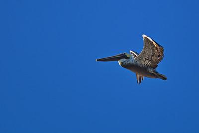 Flying_Pelican_D71_6737