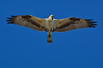 Osprey_Flying_D71_6791a