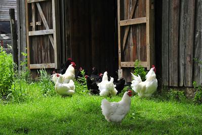 Java chickens