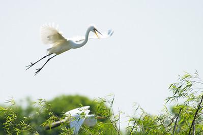 High_Island_2014_Great_Egret_Flight_RAW9690