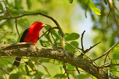 High_Island_2014_Scarlet_tanager_RAW9757