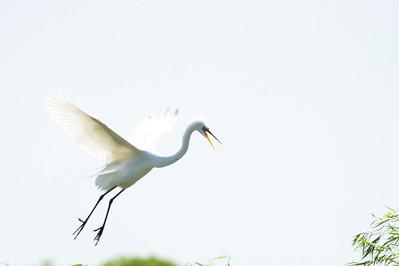 High_Island_2014_Great_Egret_Flight_RAW9692