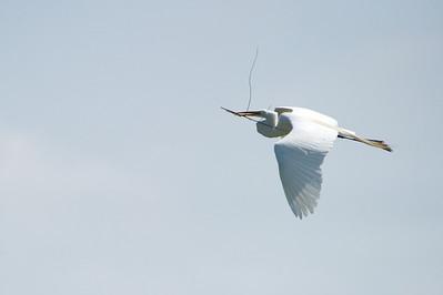 High_Island_2014_Great_Egret_Flight_RAW9666