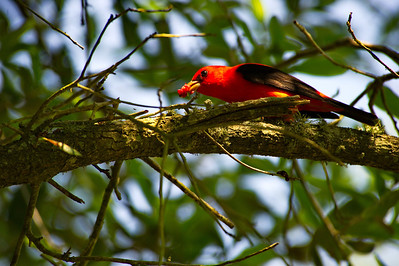 High_Island_2014_Scarlet_Tanager_Eating-berry_RAW9734