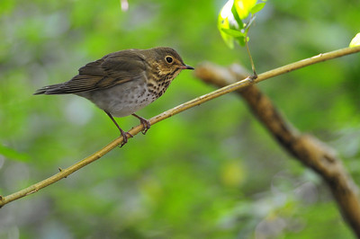 Hermits Thrush  Spring Migration 2010, High Island,Texas  Boy Scout Woods Photo Blind,  photo by Wayne Wendel