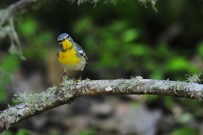 Northern parula  Spring Migration 2010, High Island,Texas  Boy Scout Woods Photo Blind,  photo by Wayne Wendel