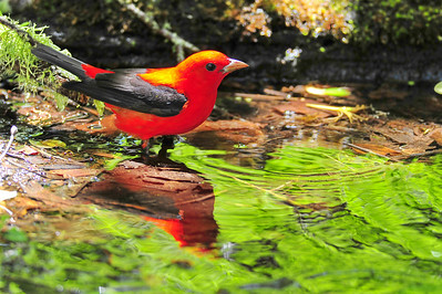 Scarlet tanager  Spring Migration 2010, High Island,Texas  Boy Scout Woods Photo Blind,  photo by Wayne Wendel