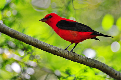 Scarlet tanager  Spring Migration 2010, High Island,Texas  Boy Scout Woods Photo Blind,  hoto by Wayne Wendel