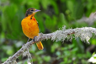Baltimore Oriole, Immature  Spring Migration 2010, High Island,Texas  Boy Scout Woods Photo Blind,  photo by Wayne Wendel