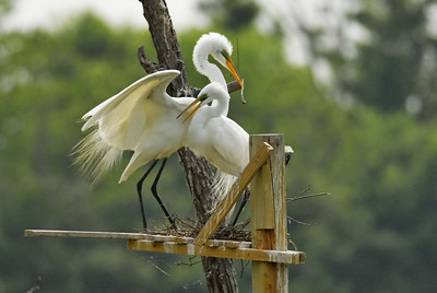 Great egret presenting nesting material to its mate