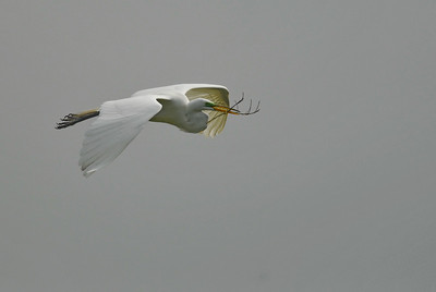 Great egret flight bringing nesting material