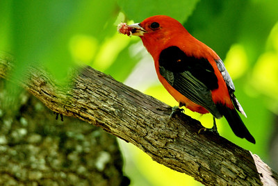 The Scarlet Tanagers also enjoyed the mulberry tree at Smith Oaks.