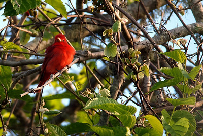 Summer Tanager;  Boy Scout Woods, HAS High Island, TX