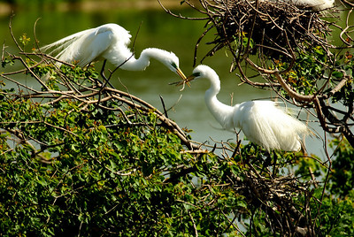 Great Egrets nest-building on Heron Island; the male does not let go as the female turns around to the nest.