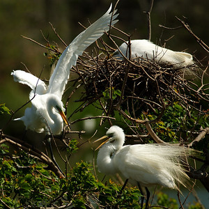 Great Egrets nest-building on Heron Island