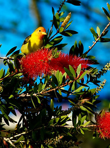 "Western tanager at High Island, Tx This bird was found behind Winne Burkett's house across the street from Boy Scout Woods in the infamous ""bottle brush""."
