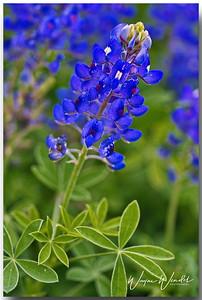 Bluebonnet_D71_4390a_Border_Sig