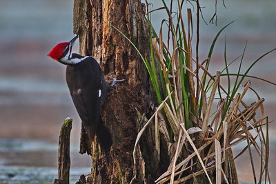 03152018_Lake_Martin_Beaux_Bridge_Pileated_Woodpecker_500_6352a