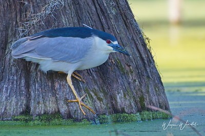 03152018_Lake_Martin_Beaux_Bridge_LA_Black-crowned_Night_Heron_500_6449