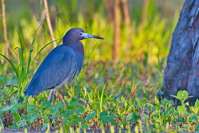 03152018_Lake_Martin_Beaux_Bridge_Little_Blue_Heron_500_6354a