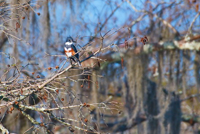 03152018_Lake_Martin_Beaux_Bridge_Belted_Kingfisher_500_6358a
