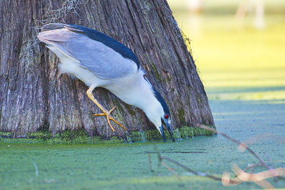 03152018_Lake_Martin_Beaux_Bridge_Black_Crowned_Night_Heron_500_6364a