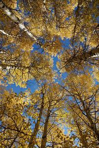Aspen canopy