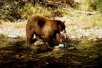 Black bear catching salmon in Taylor Creek