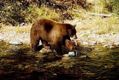 Black bear catching salmon in Taylor Creek