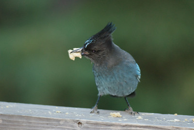 Stellar's jay, the most visible bird around Lake Tahoe
