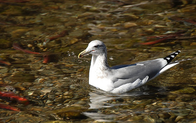 California Gull eating some of the dying salmon in Taylor Creek