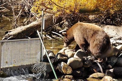 Black bear that's brown