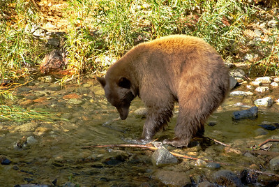 Even though the fish were weak and near death the bear found it difficult to catch one