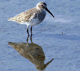 Dunlin photographed at South Padre Island