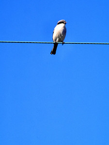 Loggerhead Shrike aka:  The Lone Ranger bird
