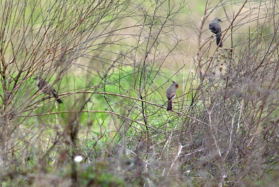 Prryhuloxia with two Mockingbirds
