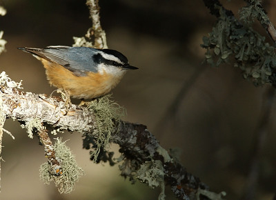 Red-breasted_Nuthatch
