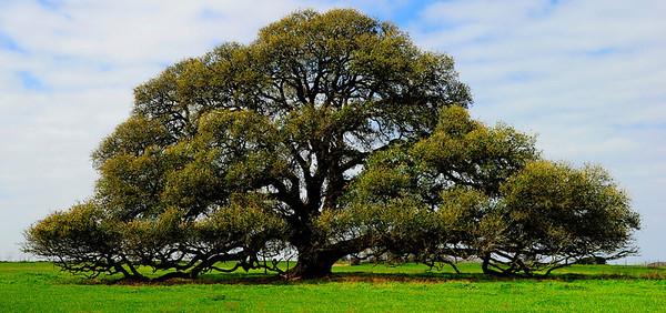 Big Tree near Schulenburg on US77