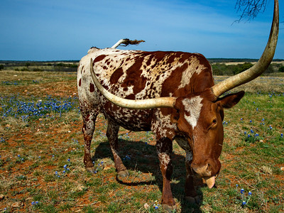 Texas Longhorn in Bluebonnets along Hwy 71