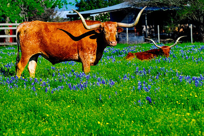 Texas Springtime in 2014:  Longhorns, Bluebonnets and Trucks