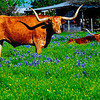 Texas longhorn in field of bluebonnets in Washington County in Chappell Hill, TX