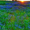Washington County, Flewellen Road bluebonnets