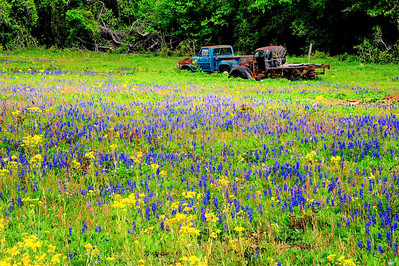 Waller County, 2014, Two old truck in a field of wildflowers on SH6