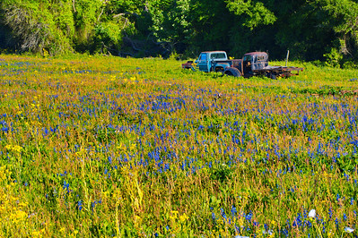 Waller County 2014:  Two old truck in a field of wildflowers