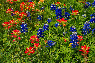 Bluebonnets & Paintbrushes in Welcome, TX