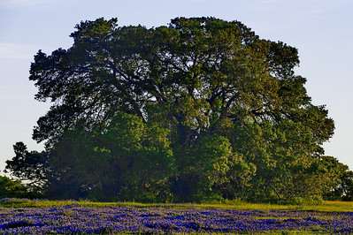 Oak tree in field of bluebonnets in Washington County