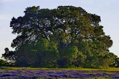 Oak tree in field of bluebonnets in Washington County