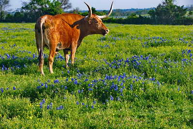 Washington County 2014, Chapplle Hill Longhorn